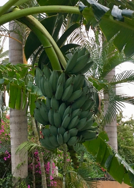 Bananas were abundant.